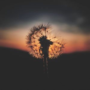 Fujifilm X100T - Sunset Dandelion Syracuse New York -